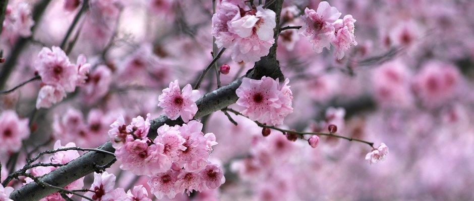 large.56eee0288940d_Japan_cherry_blossom