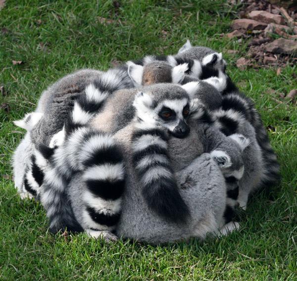 lemur-group-hug.jpg